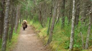 Download 2017 Katmai NP, Mama and 2nd Year Cubs on Trail with Geoff Video