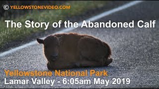 Download The Story of the Abandoned Bison Calf - May 2019 - Yellowstone National Park Video