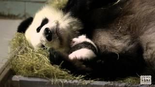 Download Giant Panda Cubs, 5 weeks old Video