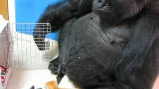 Download Koko Gets a Kitty Visit Video