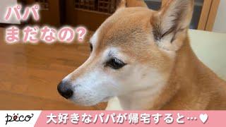 Download パパが大好きすぎる柴犬たち💕 パパが帰宅すると…【PECO TV】 Video