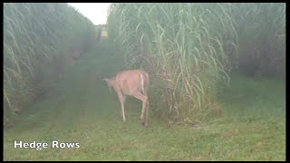Download Maple River Farms - Miscanthus as Deer Habitat and Cover Video