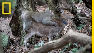 Download Monkey Tries to Mate With Deer (Rare Interspecies Behavior) | National Geographic Video