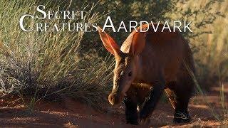 Download Secret Creatures: Africa's earth pig, the Aardvark. Video