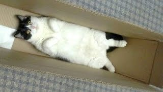 Download Warning: You will get STOMACH ACHE FROM LAUGHING SO HARD - Funny CAT compilation Video