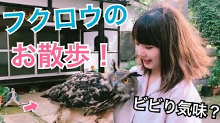 Download フクロウのお散歩 [Walk with the owl] Video