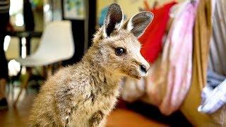 Download Couple Turn Home Into Kangaroo Sanctuary Video
