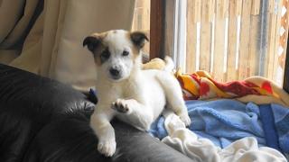 Download 保護子犬 雪野 旅立ちの日 お迎えが来る前 Video