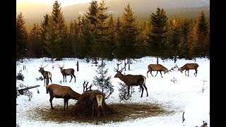Download LIVE DEER CAM / BEARS / FOXES / WINTER WILDLIFE CAM - LIVE STREAM - TRANSYLVANIA, ROMANIA, EUROPE Video