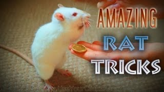 Download Awesome, Amazing Rat Tricks Video