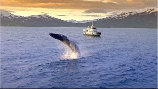 Download Ambassador Whale Watching Video