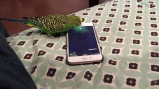 Download Talking bird activates Siri on the iPhone by saying ″Hey Siri″ Video