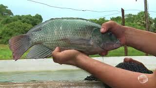 Download Nova técnica permite criação de peixes com economia Video