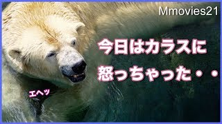Download カラス待て~追いかけるリラと 怒ったララ Polar Bears & Crows Video