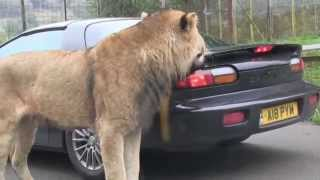 Download Lion takes a bite out of sports car    Viral Video UK Video