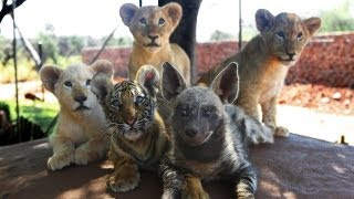 Download Baby Animals: Baby Lion, Baby Tiger & Baby Hyena Cub Animal Cuteness! Video