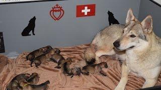 Download Mise-bas chiots chiens loups tchécoslovaques Portée Heaven & Ioric 02 01 17 Video
