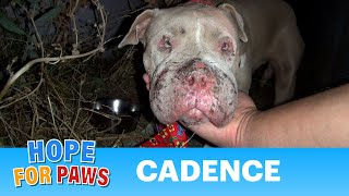 Download Saving Cadence - an abused Pit Bull shows us the power of second chances. Please share. Video