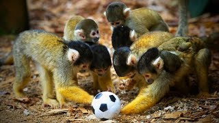 Download Funny Monkeys 🐒😂 Cute and Funny Monkeys Playing (Full) [Funny Pets] Video