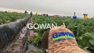Download Pisca de fresa oxnard CA. Febrero 10 2017 Video