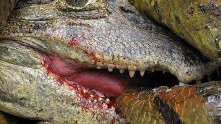 Download Anaconda vs Caiman Alligator Video