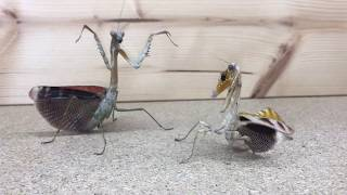 Download Mantis VS Mantis Video