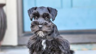 Download ADORABLE Schnauzer has an ADORABLE Personality - Stella in Training! Video