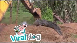 Download Giant Crocodile in Sri Lanka Rescued and Released || ViralHog Video
