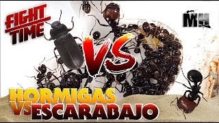 Download HORMIGAS VS ESCARABAJO | Hormigas Messor Barbarus Video