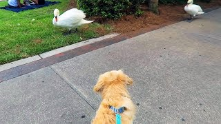 Download DOG VS ANGRY SWAN (Hilarious) - Super Cooper Sunday #144 Video