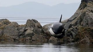 Download RAW: Stranded orca saved Video