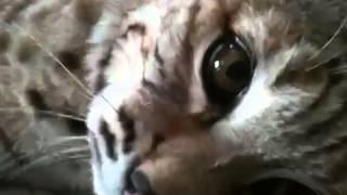 Download Pet bobcat (Ruckus) waiting for supper Video