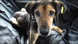 Download Starving Sad Dog Waiting 8 Years To Be Rescued Didn't Lose Hope That A Miracle Will Happen Video