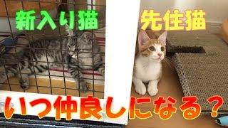 Download 【多頭飼い開始】新入り猫&先住猫 それぞれの様子(前編)【保護猫】 Video