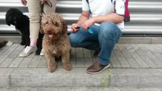 Download Spanischer Wasserhund, verschiedene Farben Video