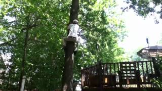 Download Tree climbing with hand claws and foot spikes Video