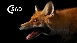 Download Life as a City Fox 360° - Planet Earth II - Behind The Scenes Video