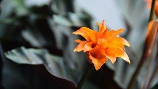 Download Пересадка подаренных растений. Калатея шафранная. Video