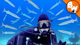 Download Surrounded by Razor Toothed Barracuda! Video