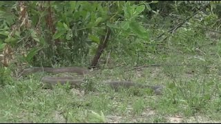 Download Safari Live : Huge Black Mamba as seen with Brent on drive this morning Nov 23, 2016 Video