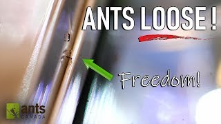 Download Allowing Ants to Free-Roam and Live in my Room Video