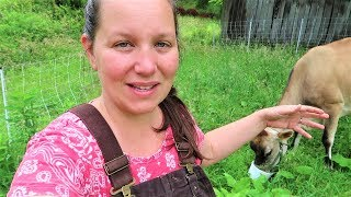 Download Morning Chores With Dolly - Our New Jersey Cow! Video