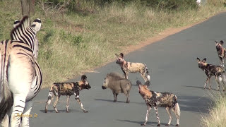 Download Warthog vs Pack of Wild Dogs Video