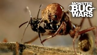 Download Leafcutter Ant Soldier vs Speckled House Spider | MONSTER BUG WARS Video