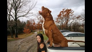 Download The most incredible guard dogs on earth! SUPERPITBULL Video