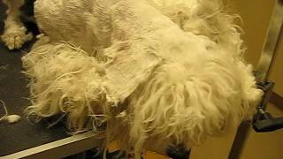 Download Winnie Matted Dog Groom Video 2 of 4 Video