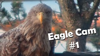Download Eagle Cam #1 - Baron Blue - White Tailed Eagles Nest Live Video