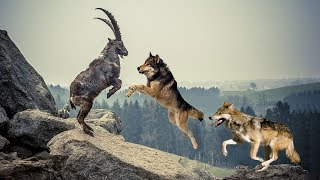 Download Pack Of Wolves Hunting Mountain Goat   Mountain Goat Failed To Protect Fellow Video