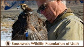 Download Falconry: Prairie Falcon, Piper, Flying High! (pt.6) Video