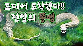Download 드디어 등장한 전설의 똥?뱀! 비쥬얼 최강자 초희귀종 도착 Video